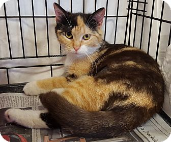 Domestic Shorthair Cat for adoption in Norwalk, Connecticut - May