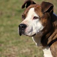 Adopt A Pet :: Carter - Cumberland, MD