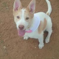 Adopt A Pet :: Beauty - Las Cruces, NM