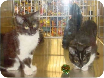 Domestic Shorthair Kitten for adoption in Overland Park, Kansas - Daryl & Hanna