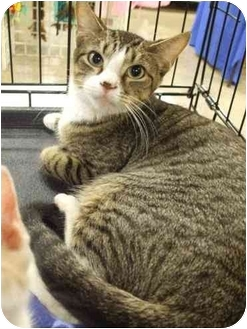 Domestic Shorthair Cat for adoption in Orlando, Florida - Hope