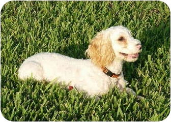 Poodle (Miniature)/Spaniel (Unknown Type) Mix Puppy for adoption in Melbourne, Florida - SCAMPER