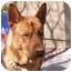 Photo 1 - German Shepherd Dog Mix Dog for adoption in Las Vegas, Nevada - Red