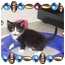 Photo 1 - Domestic Mediumhair Kitten for adoption in KANSAS, Missouri - JUNE BUG