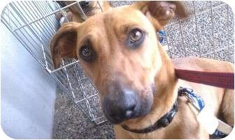 Dachshund/Beagle Mix Dog for adoption in Fresno, California - Isaac Newton