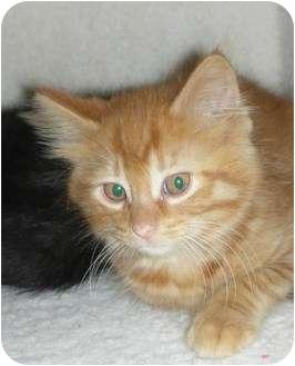 Maine Coon Kitten for adoption in Naperville, Illinois - Fireheart-8 weeks
