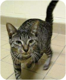 Domestic Shorthair Cat for adoption in Jackson, Michigan - Ruthie