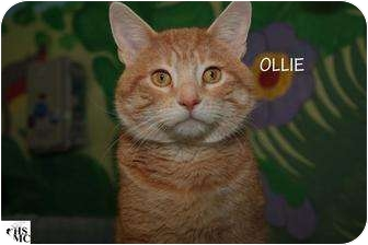 Domestic Mediumhair Cat for adoption in Columbia, Illinois - Ollie
