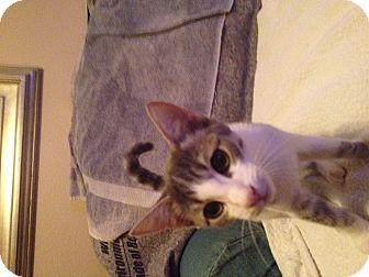 Domestic Shorthair Kitten for adoption in Phoenix, Arizona - Olivia