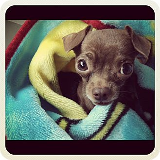 Chihuahua Dog for adoption in Los Angeles, California - Jacques