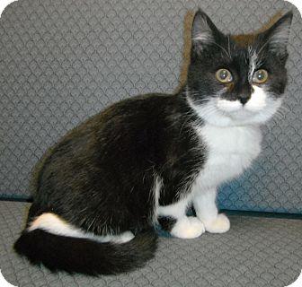 Domestic Shorthair Kitten for adoption in Jackson, Michigan - Denise