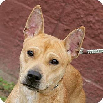 Shiba Inu Mix Dog for adoption in Springfield, Illinois - Mika