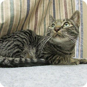 Domestic Shorthair Cat for adoption in Gilbert, Arizona - Scooter