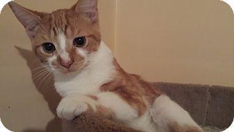 Domestic Shorthair Cat for adoption in Saint Clair Shores, Michigan - Jack
