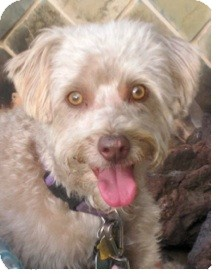 Wheaten Terrier/Poodle (Miniature) Mix Dog for adoption in Temecula, California - Juli- I do not shed!