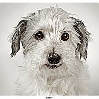 Adopt A Pet :: Stanley - New York, NY