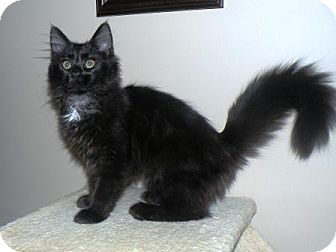 Maine Coon Kitten for adoption in Turnersville, New Jersey - Nutmeg