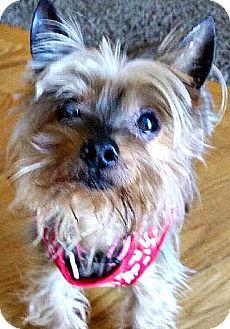 Yorkie, Yorkshire Terrier Dog for adoption in Boulder, Colorado - Gizmo -ADOPTION PENDING