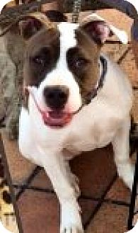 American Pit Bull Terrier Mix Puppy for adoption in Baltimore, Maryland - Kali