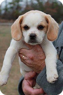 Shih Tzu/Beagle Mix Puppy for adoption in Sagaponack, New York - Meg