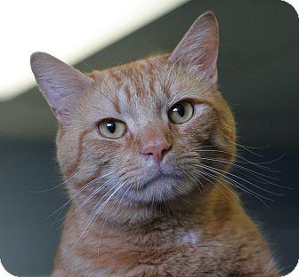 Domestic Shorthair Cat for adoption in Staunton, Virginia - Bongo