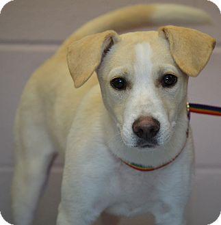Labrador Retriever/Husky Mix Dog for adoption in Michigan City, Indiana - Nala