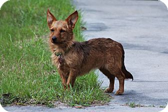 Cairn Terrier/Jack Russell Terrier Mix Dog for adoption in Jesup, Georgia - Reba