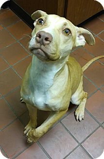 Pit Bull Terrier Mix Dog for adoption in Wayne, New Jersey - Izzy