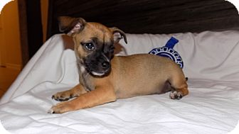 Chihuahua/Dachshund Mix Puppy for adoption in Manchester, Vermont - Tater Tot