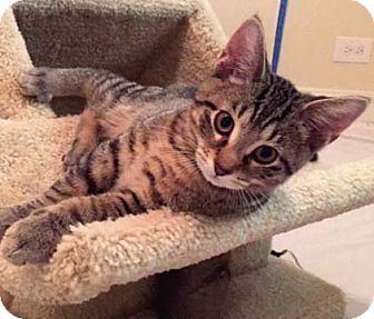 Domestic Shorthair Kitten for adoption in Lombard, Illinois - Beau