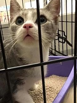Domestic Shorthair Cat for adoption in Westbury, New York - Meghan