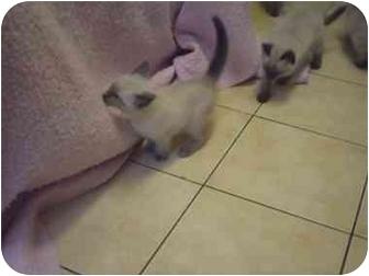 Siamese Kitten for adoption in Saanichton, British Columbia - Kitten Y#5