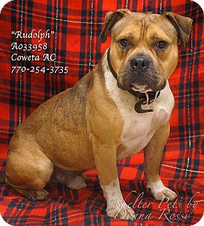 English Bulldog Mix Dog for adoption in Newnan City, Georgia - Rudolph