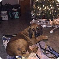 Adopt A Pet :: Bridgette - Fayetteville, AR
