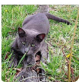 Domestic Shorthair Cat for adoption in Maryville, Illinois - Carter
