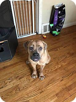 Cane Corso Dog for adoption in Oswego, Illinois - Cherry