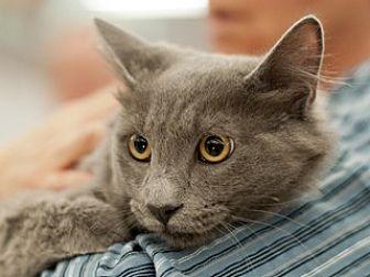 Domestic Mediumhair Cat for adoption in Great Falls, Montana - Ira