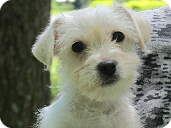 Westie, West Highland White Terrier/Chihuahua Mix Puppy for adoption in Harrisonburg, Virginia - Blossom