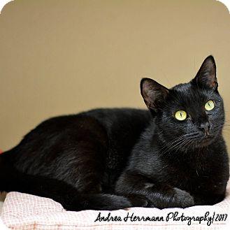 Domestic Shorthair Cat for adoption in East Hartford, Connecticut - Tamara