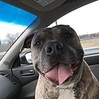 Adopt A Pet :: Bowser - Brooklyn Center, MN
