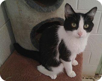 American Shorthair Cat for adoption in Bryson City, North Carolina - Bessie