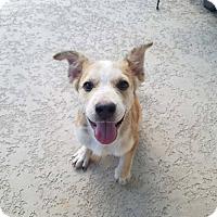 Adopt A Pet :: Gideon - Houston, TX