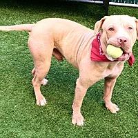 Adopt A Pet :: Caesar - New York, NY