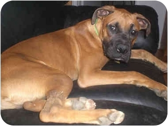 Boxer Mix Puppy for adoption in Middlesex, New Jersey - Brody