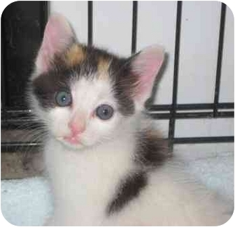 Calico Kitten for adoption in Bainbridge, Georgia - Tally
