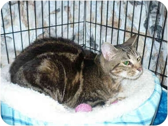 Domestic Shorthair Cat for adoption in Colmar, Pennsylvania - Swirly Girl
