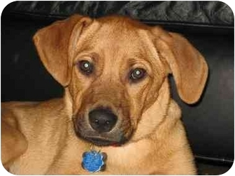 Labrador Retriever/Hound (Unknown Type) Mix Dog for adoption in Brooklyn, New York - Tanner