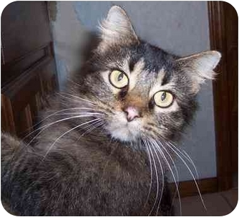 Maine Coon Cat for adoption in Oklahoma City, Oklahoma - Meow Meow