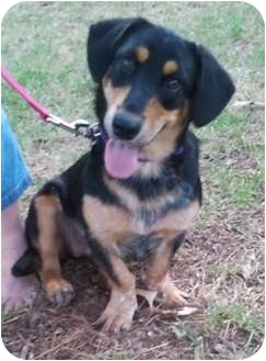 Basset Hound Mix Dog for adoption in Preston, Connecticut - Princess