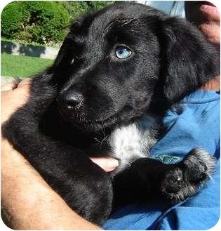 Border Collie/English Springer Spaniel Mix Puppy for adoption in Bel Air, Maryland - Ranger